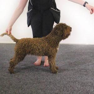 Koiranäyttelykurssi kaikille roduille ti 26.10., 2.11. ja 9.11. klo 20:30-21:30
